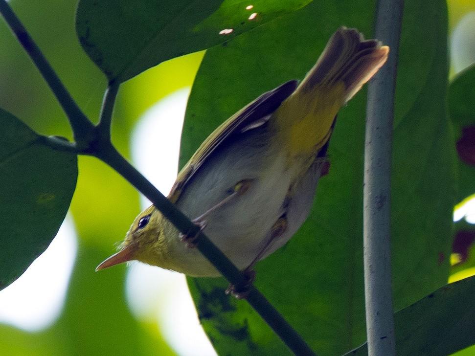 Yellow-vented Warbler - Vivek Menon