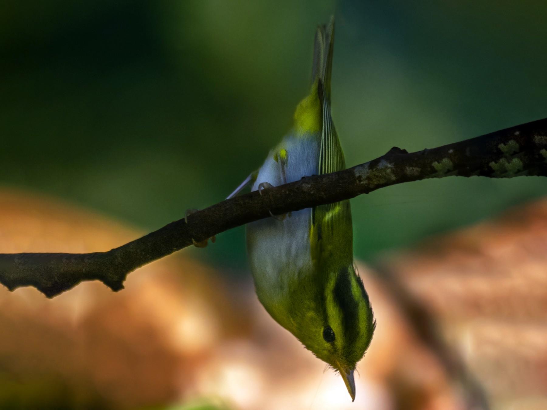 Yellow-vented Warbler - Soumen Roy Chowdhury