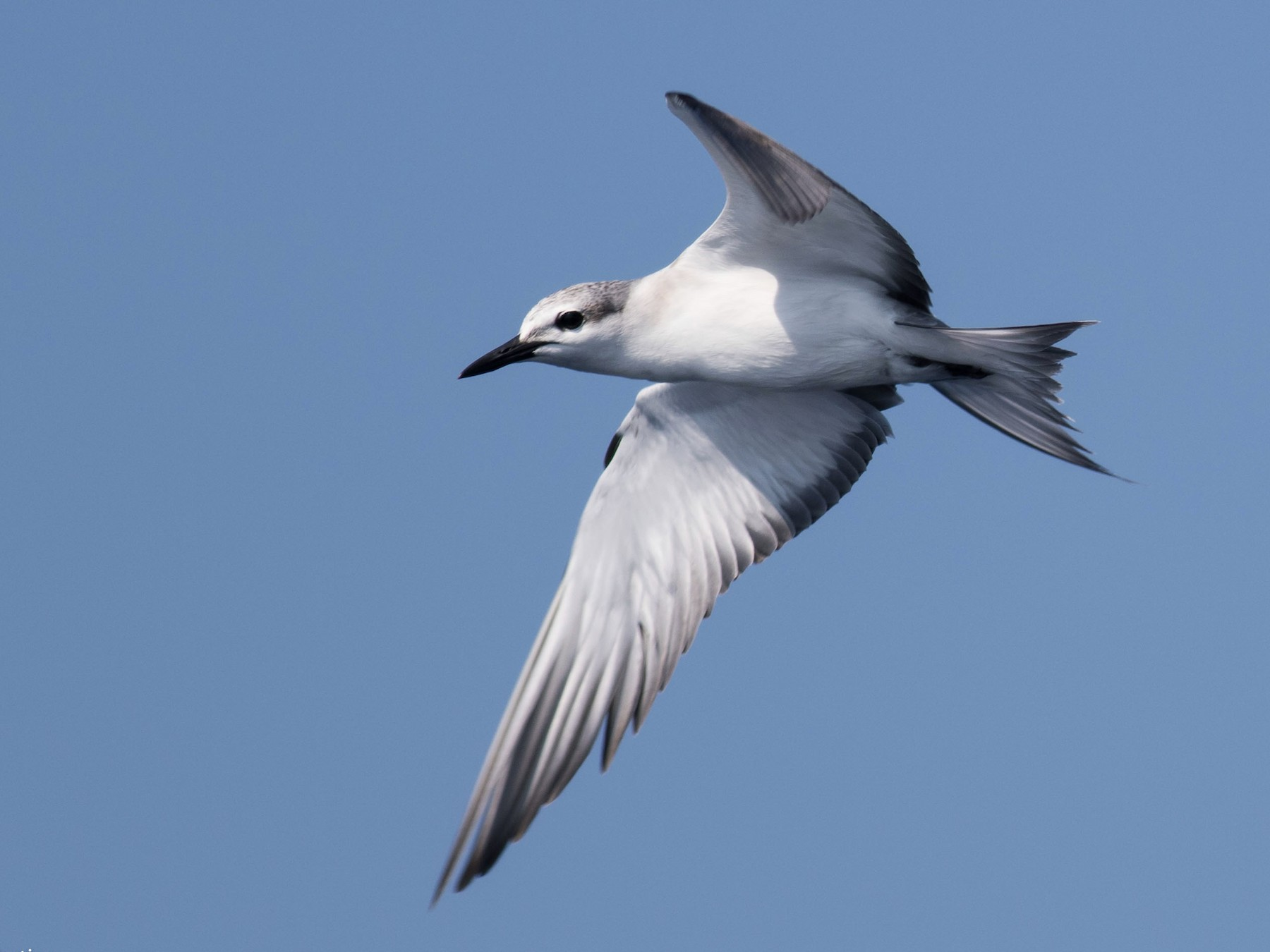 Bridled Tern - matthew sabatine
