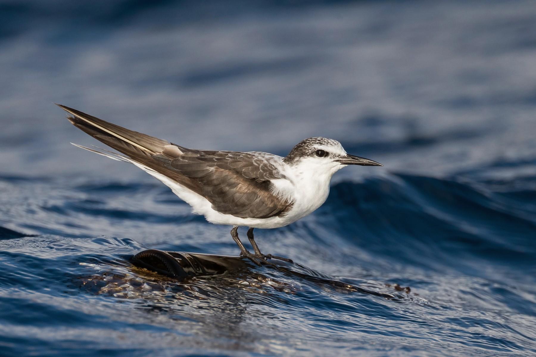Bridled Tern - Ryan Sanderson
