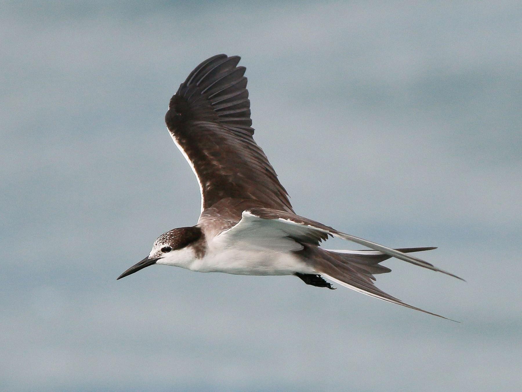 Bridled Tern - Neoh Hor Kee
