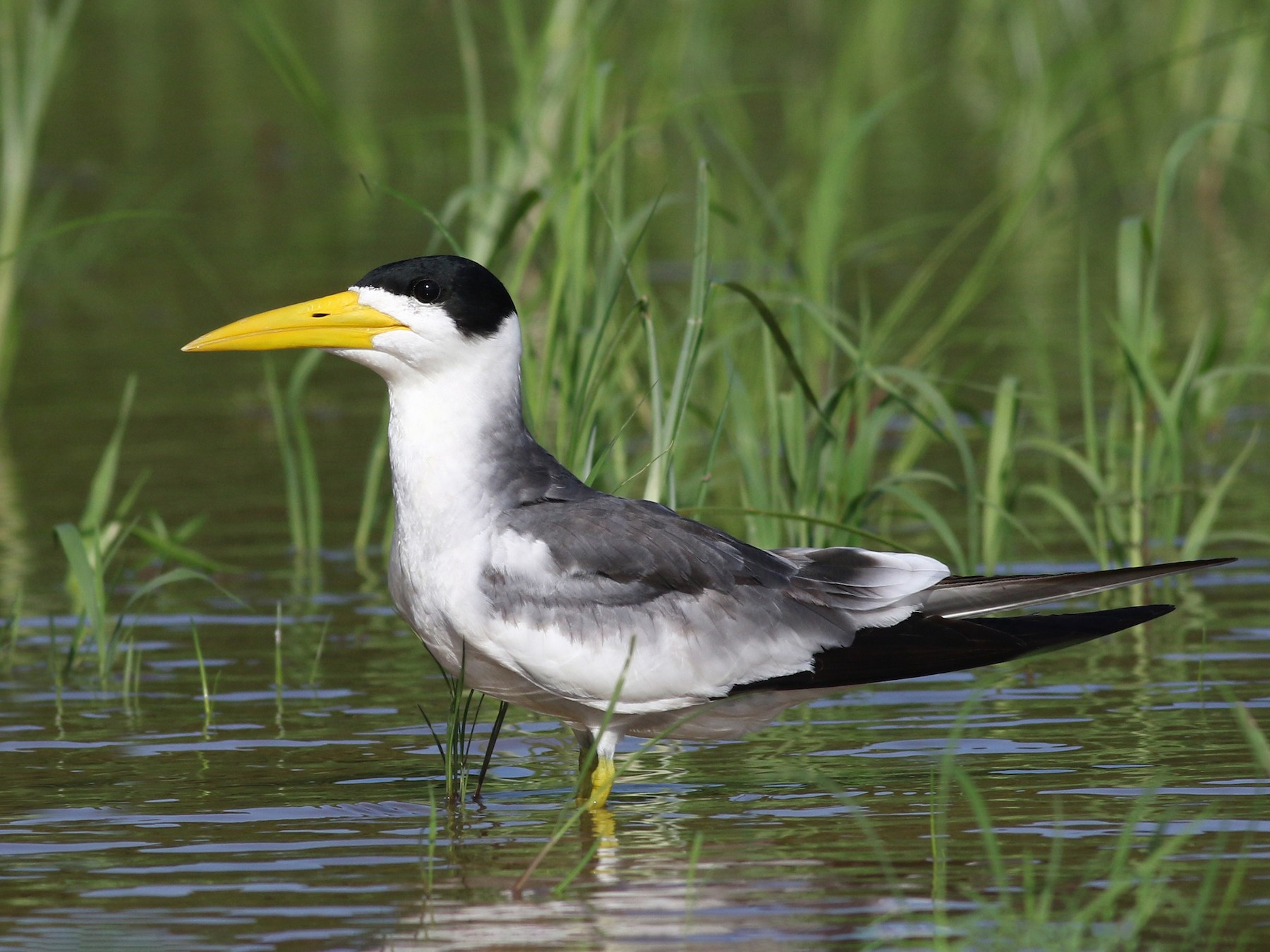 Large-billed Tern - Nick Bonomo