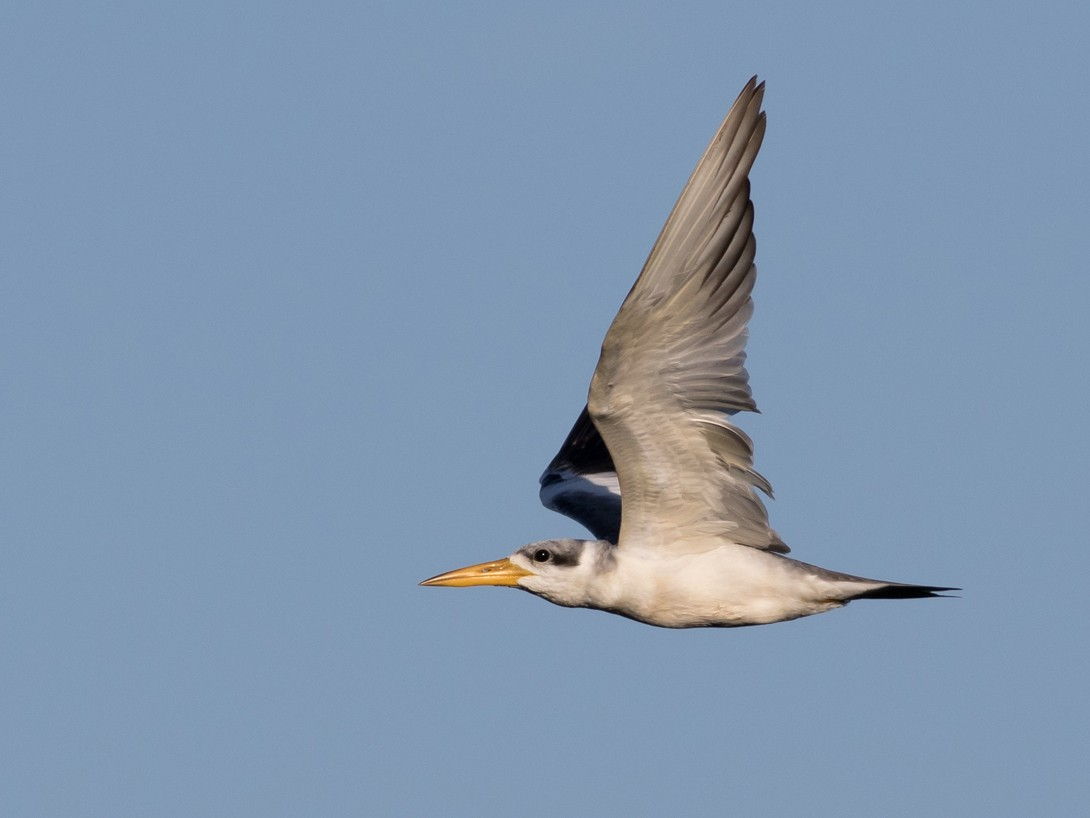 Large-billed Tern - Tom Johnson