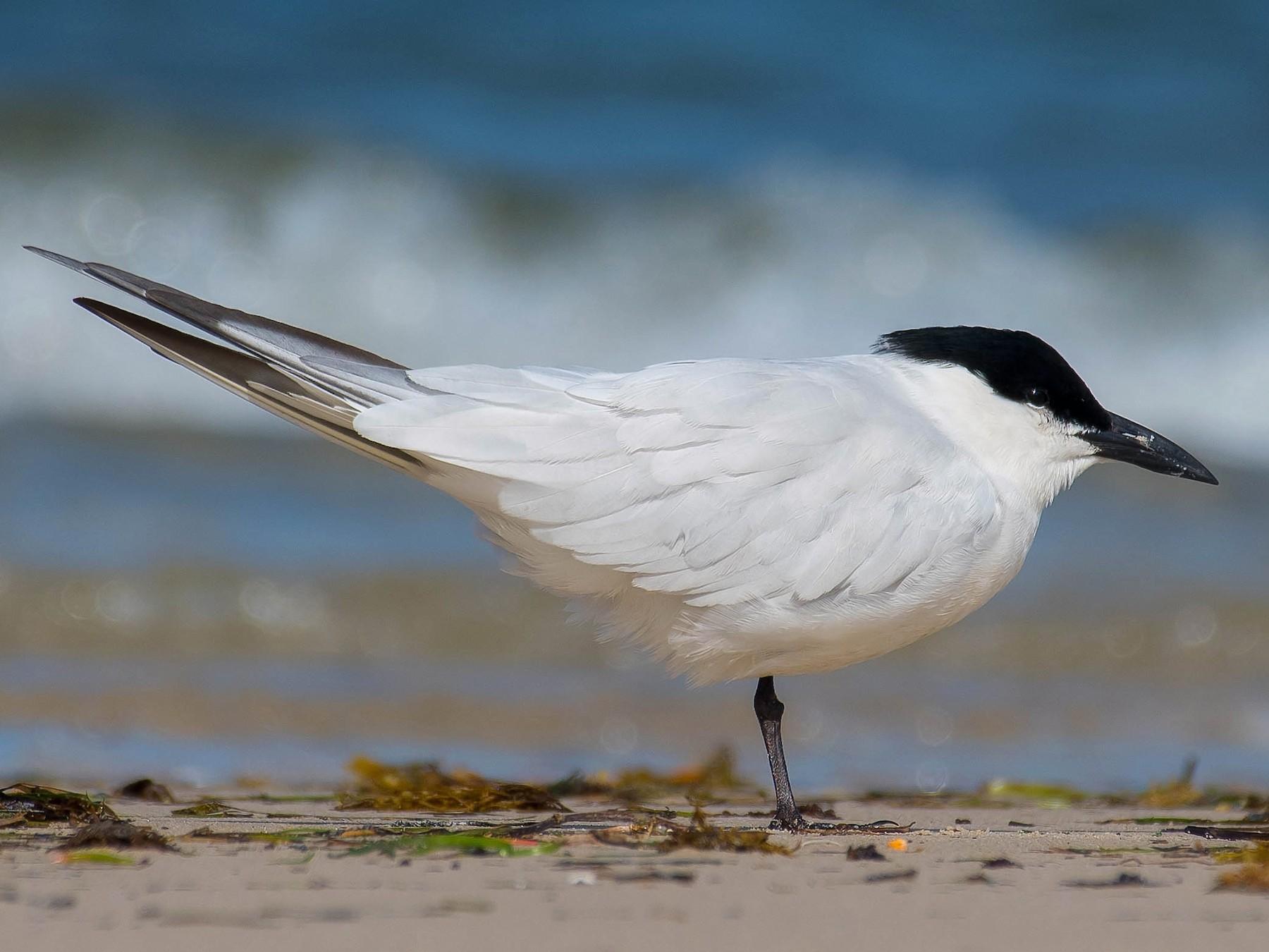 Gull-billed Tern - Terence Alexander