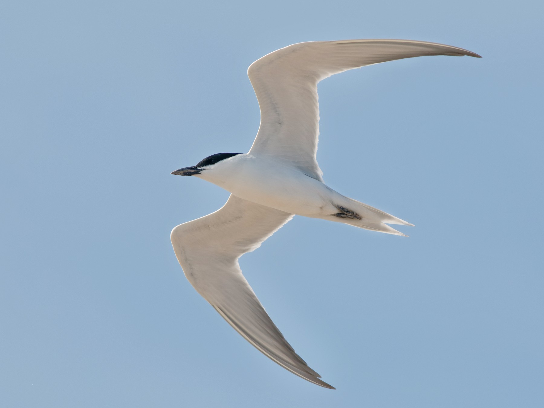 Gull-billed Tern - Steve Kolbe