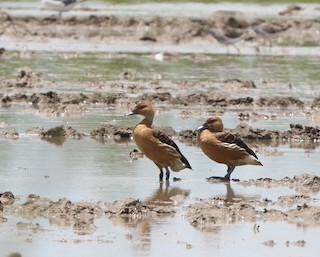 Fulvous Whistling-Duck, ML170069891