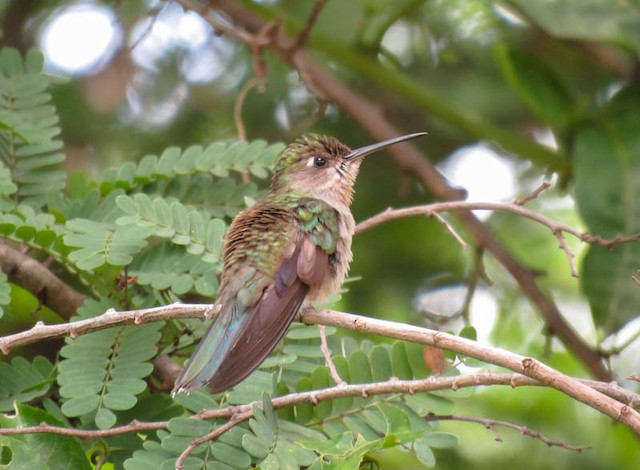 Dry-forest Sabrewing