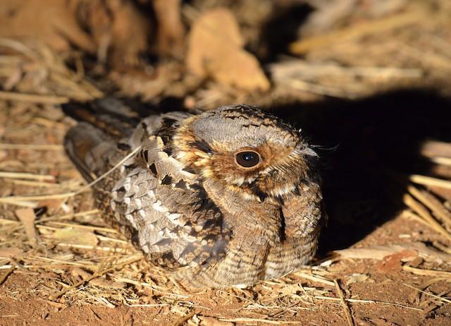 Rufous-cheeked Nightjar