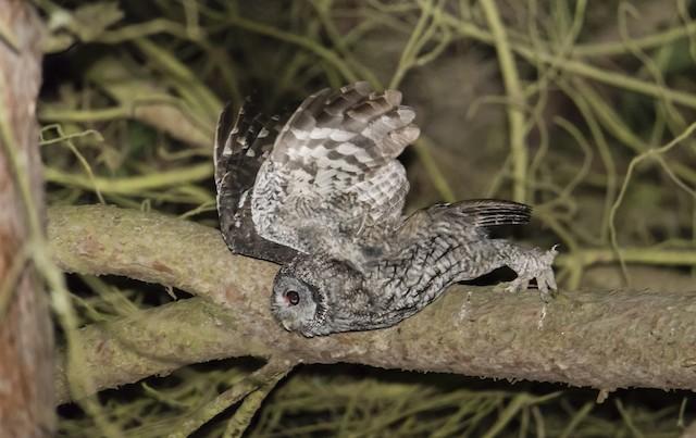©Rui Pereira - Tawny Owl
