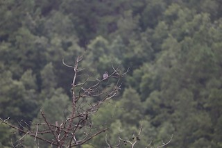 Band-tailed Pigeon, ML170225891