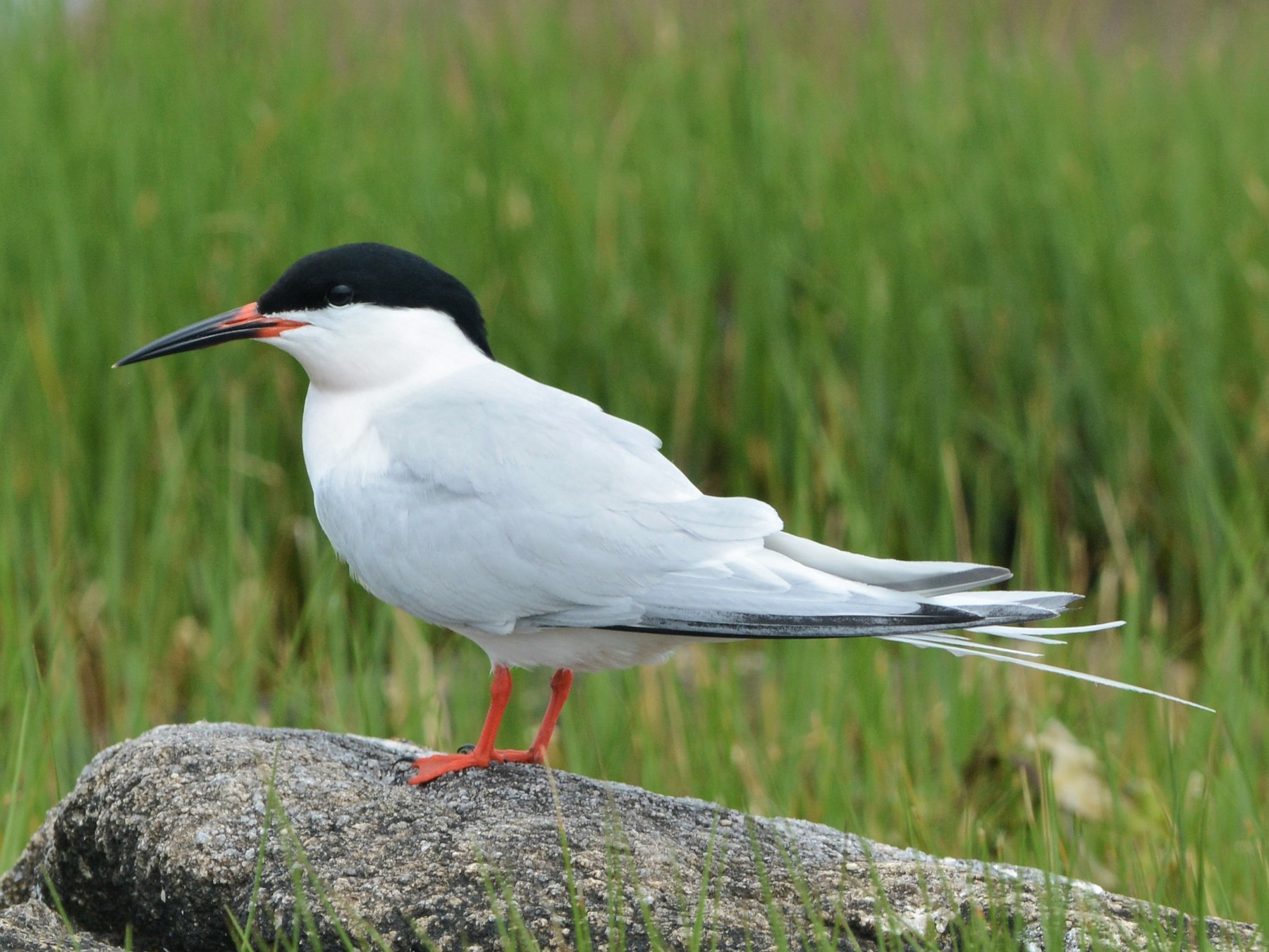 Roseate Tern - David Hollie