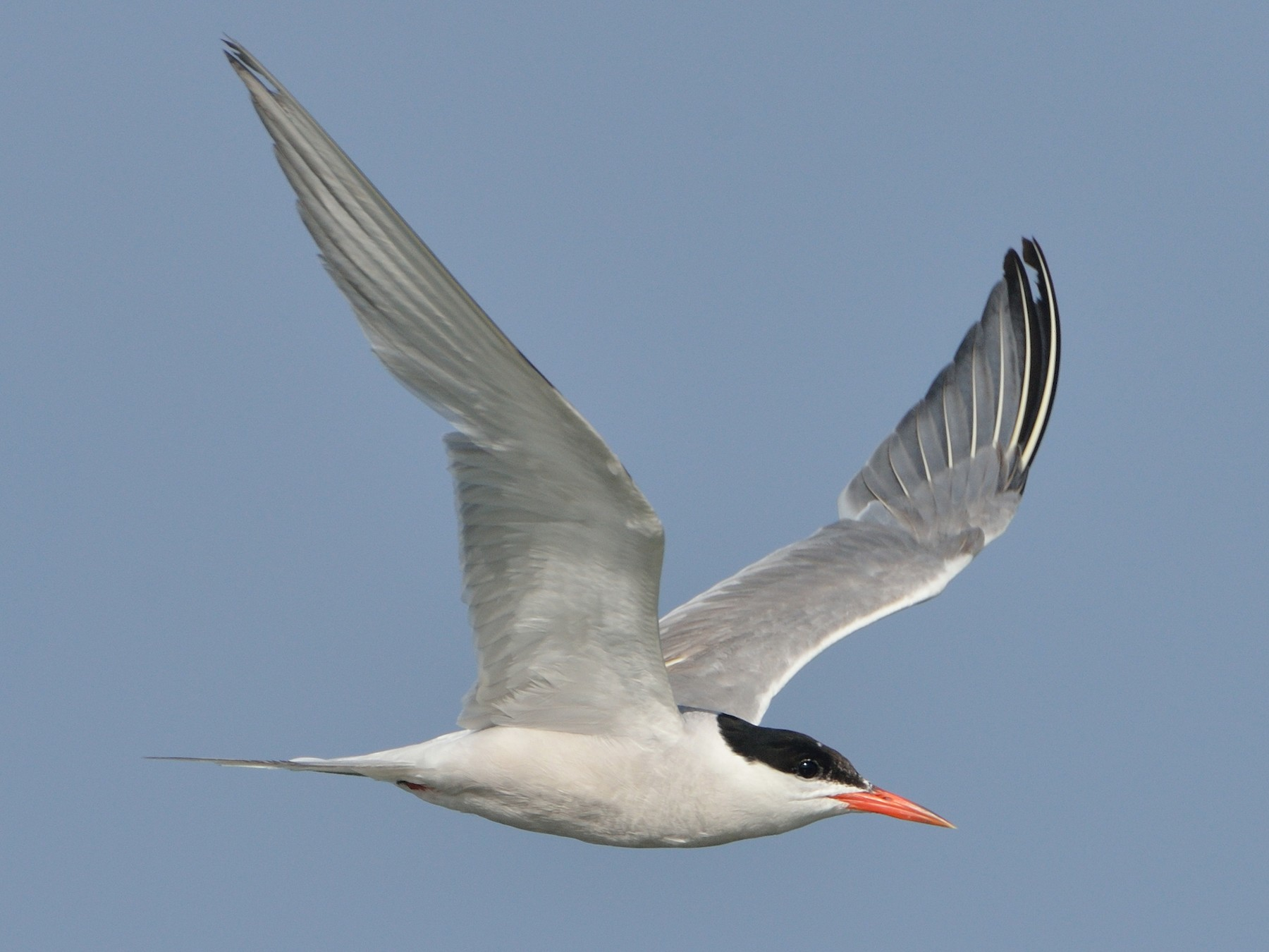 Common Tern - Michiel Oversteegen