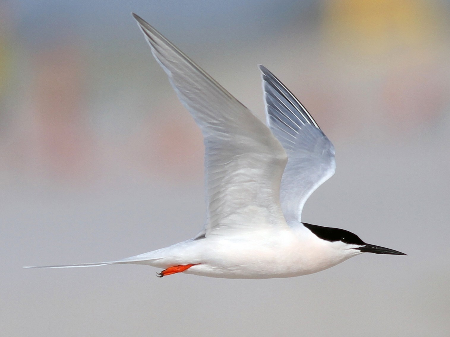 Roseate Tern - Shawn Billerman