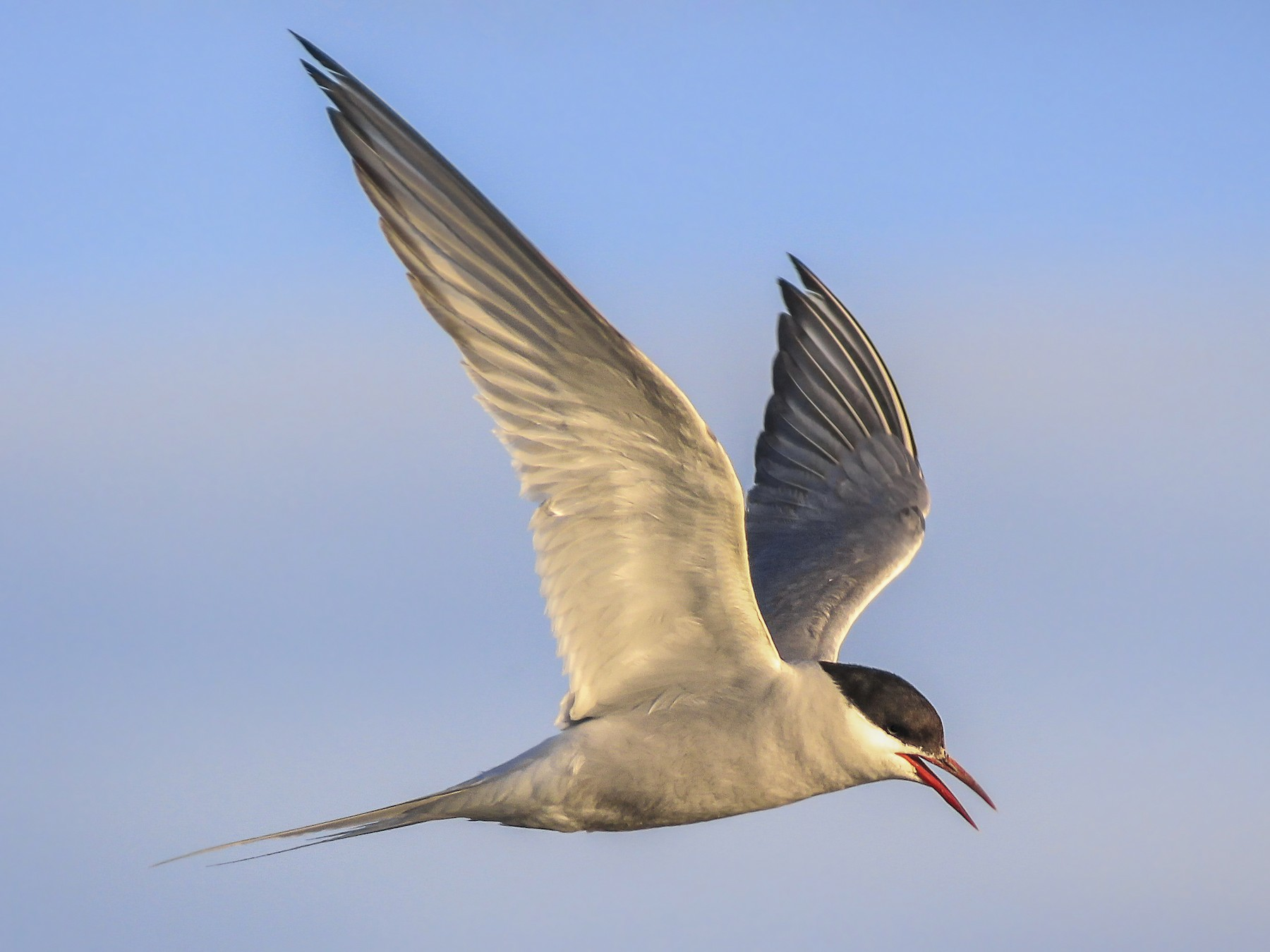 Arctic Tern - Matthew Pendleton