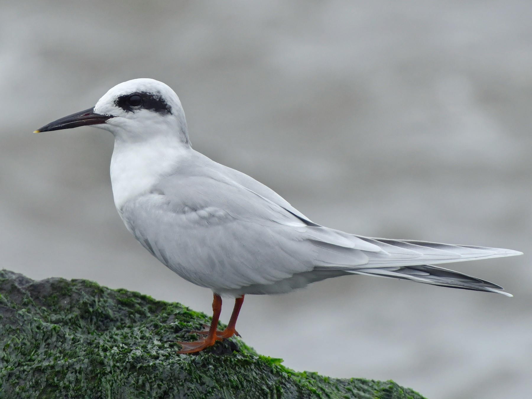Forster's Tern - Jonathan Irons