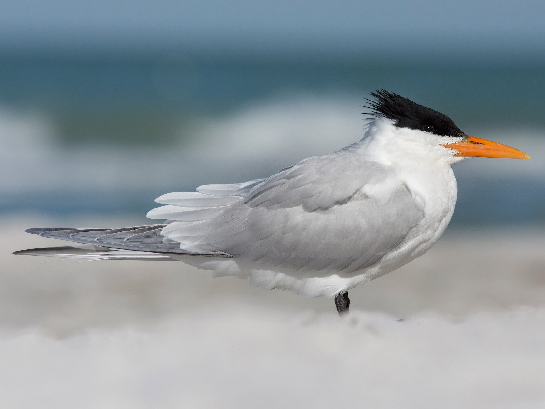 Royal Tern - Melissa James