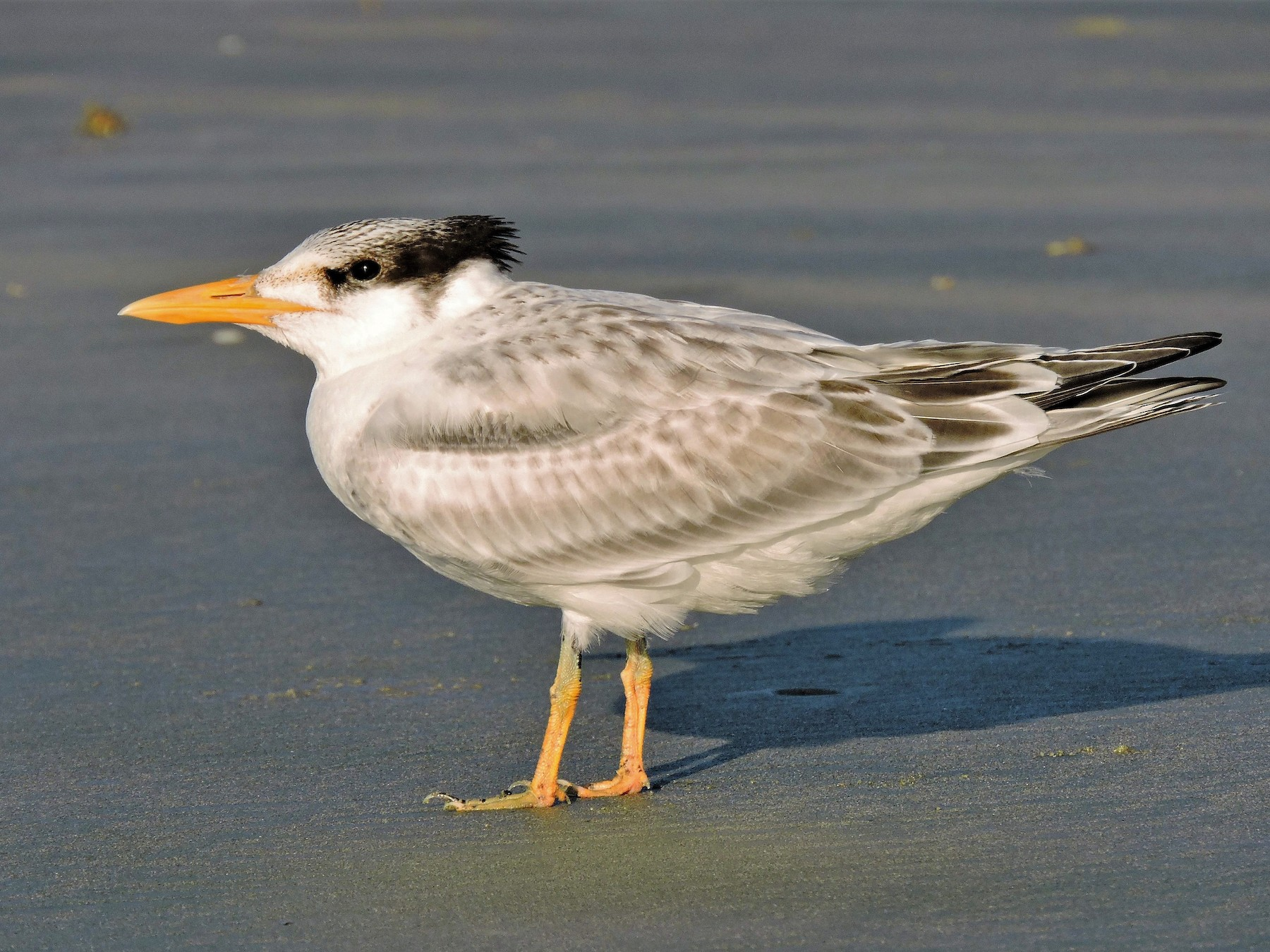 Royal Tern - S. K.  Jones