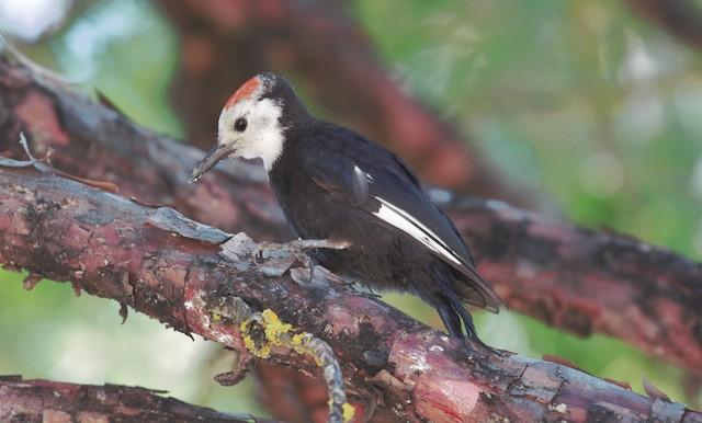 Juvenile male White-headed Woodpecker (24 July).