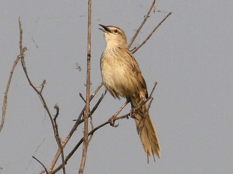 Striated Grassbird - Blair Dudeck