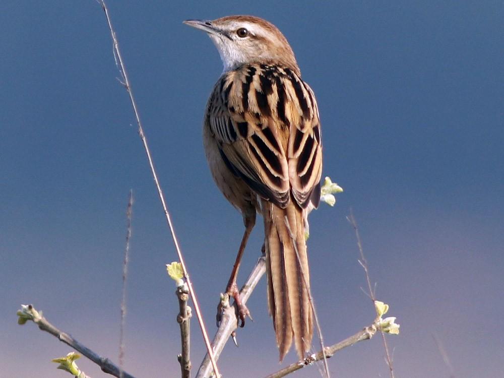 Striated Grassbird - Samiran  Jha