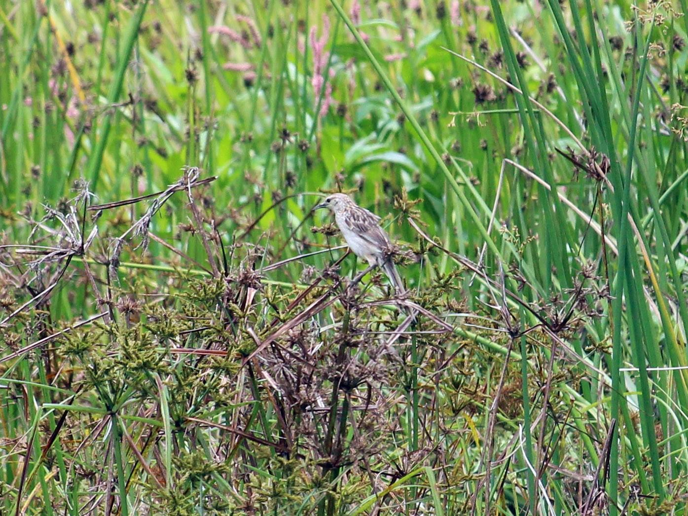 Striated Grassbird - Bruno Durand