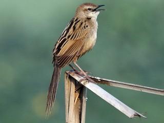 - Striated Grassbird