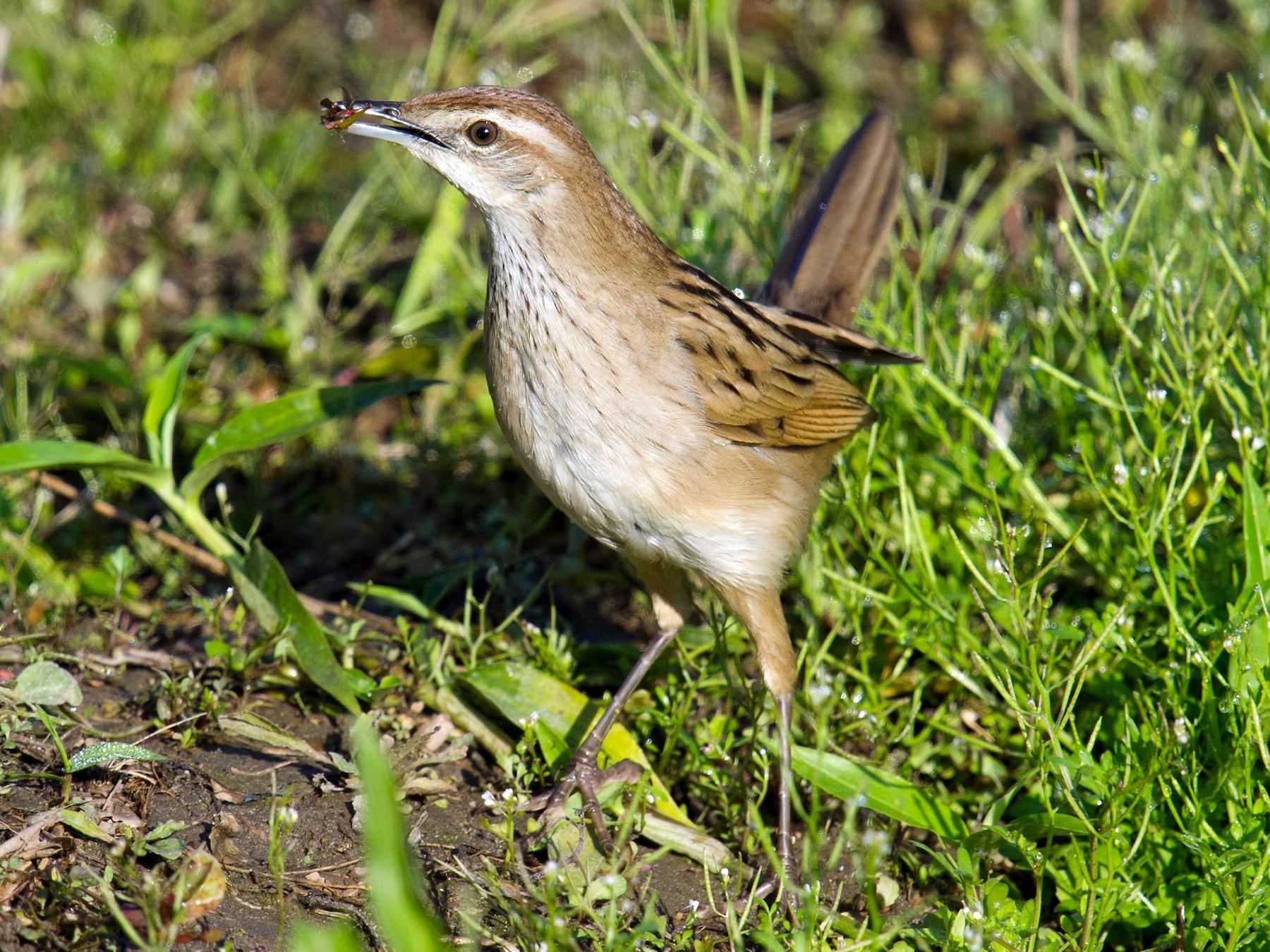 Striated Grassbird - Craig Brelsford