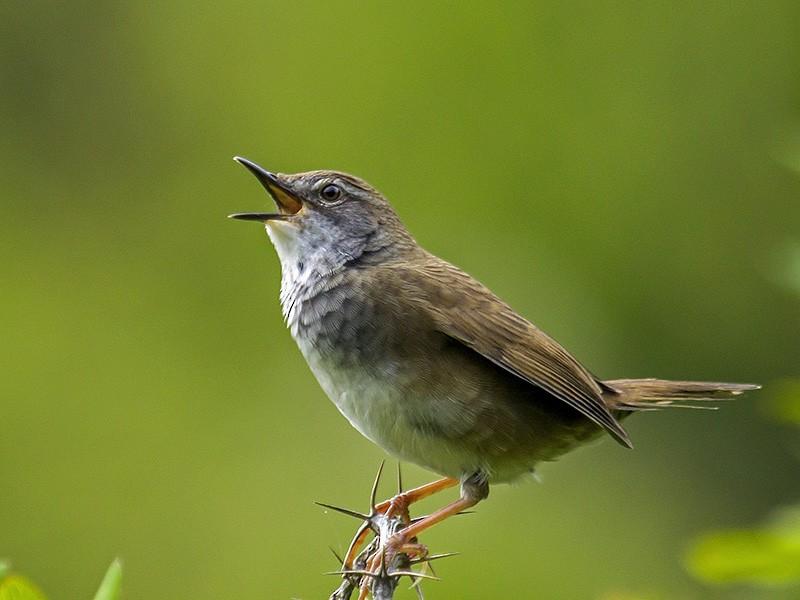 West Himalayan Bush Warbler - Yogish Holla