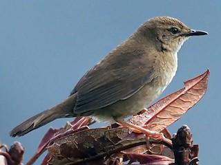 - West Himalayan Bush Warbler