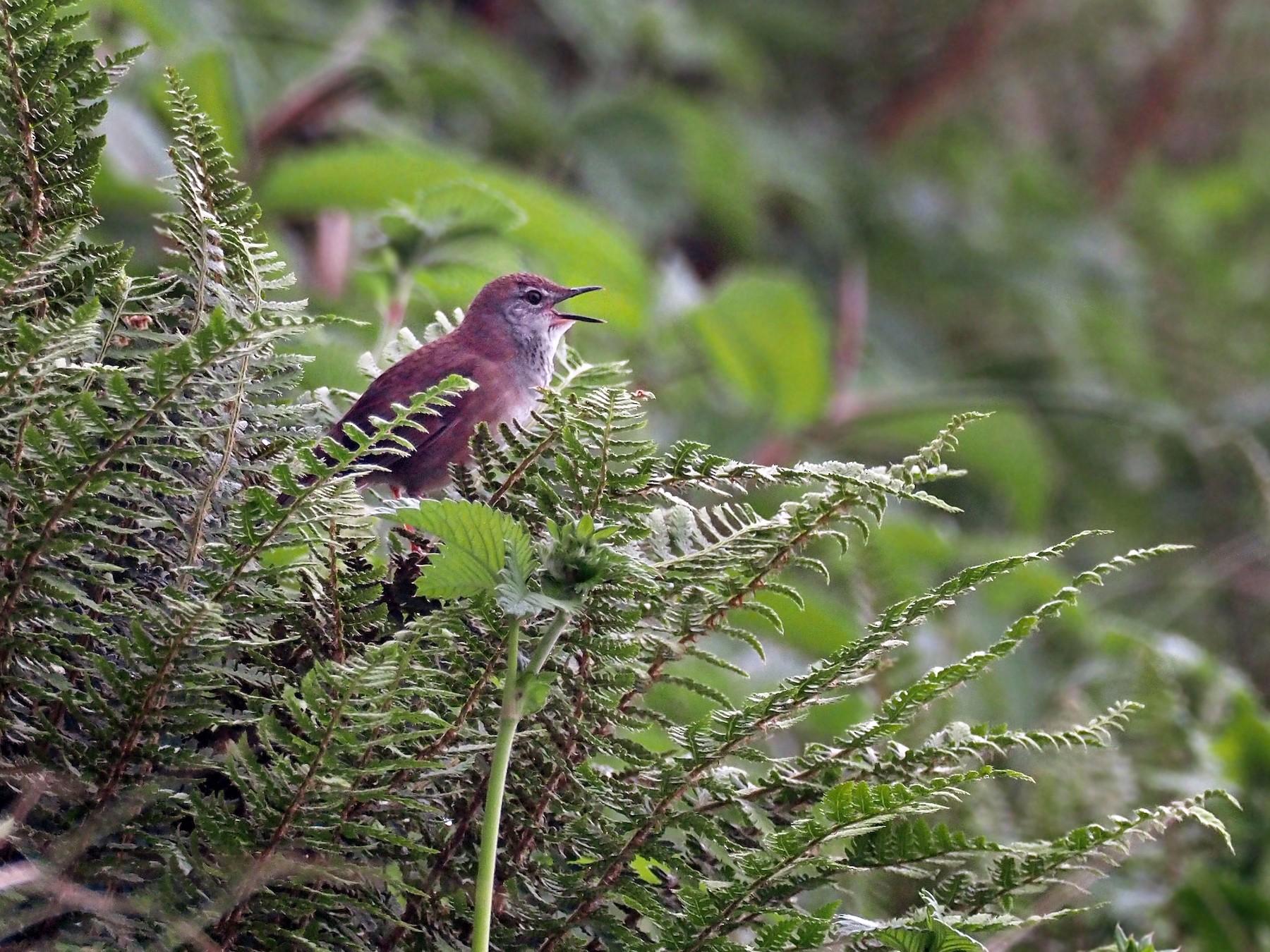 West Himalayan Bush Warbler - Andrew Spencer