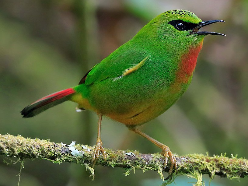 Fire-tailed Myzornis - Gavin Emmons