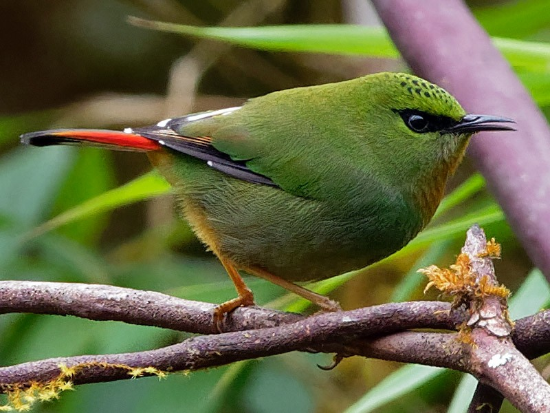 Fire-tailed Myzornis - Vincent Wang