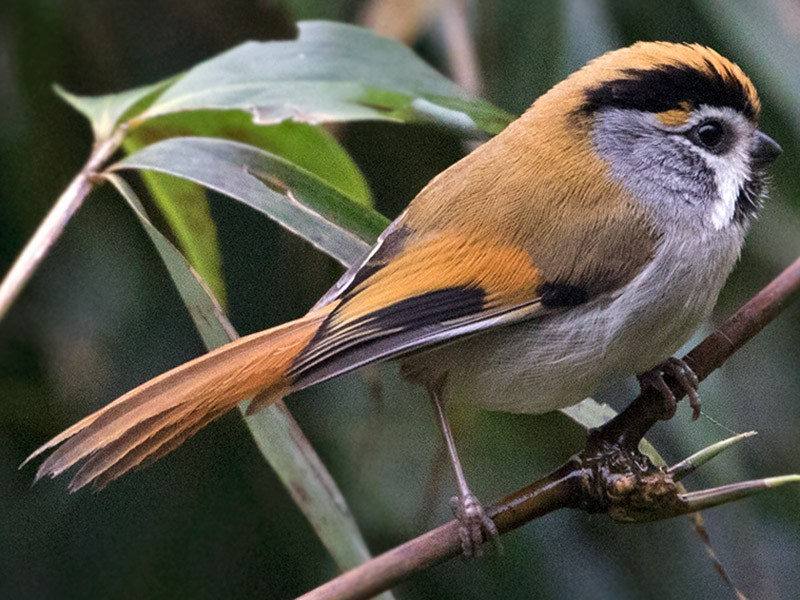 Black-throated Parrotbill - Sam Woods