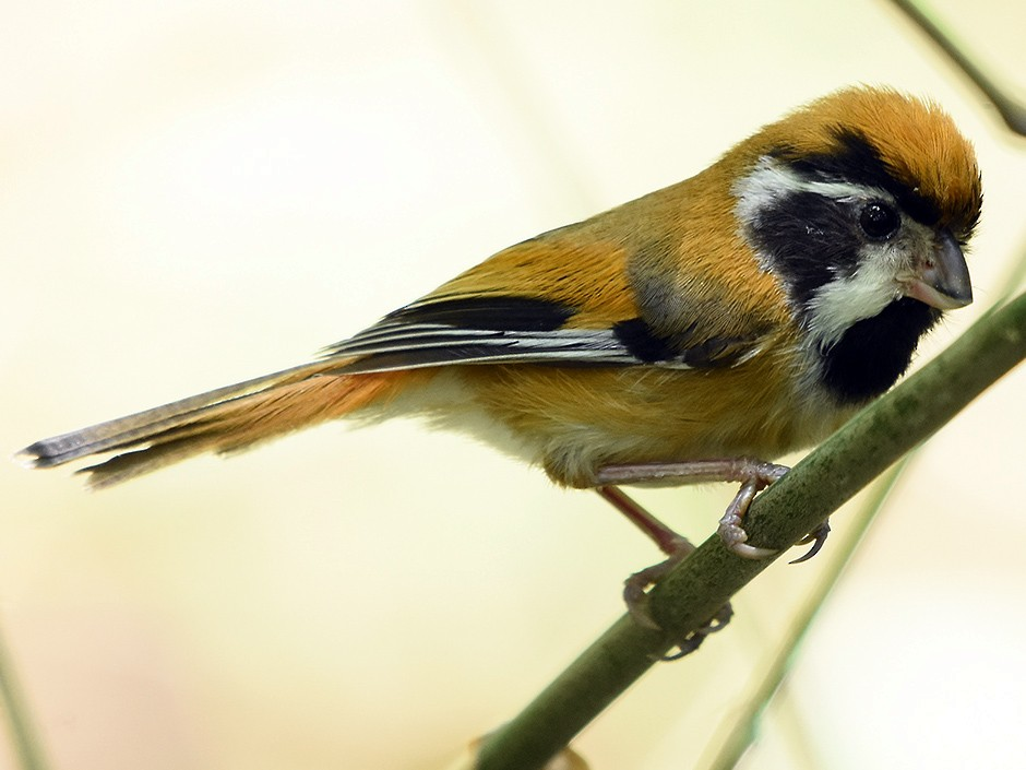 Black-throated Parrotbill - Supaporn Teamwong