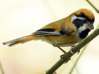 - Black-throated Parrotbill (Black-eared)