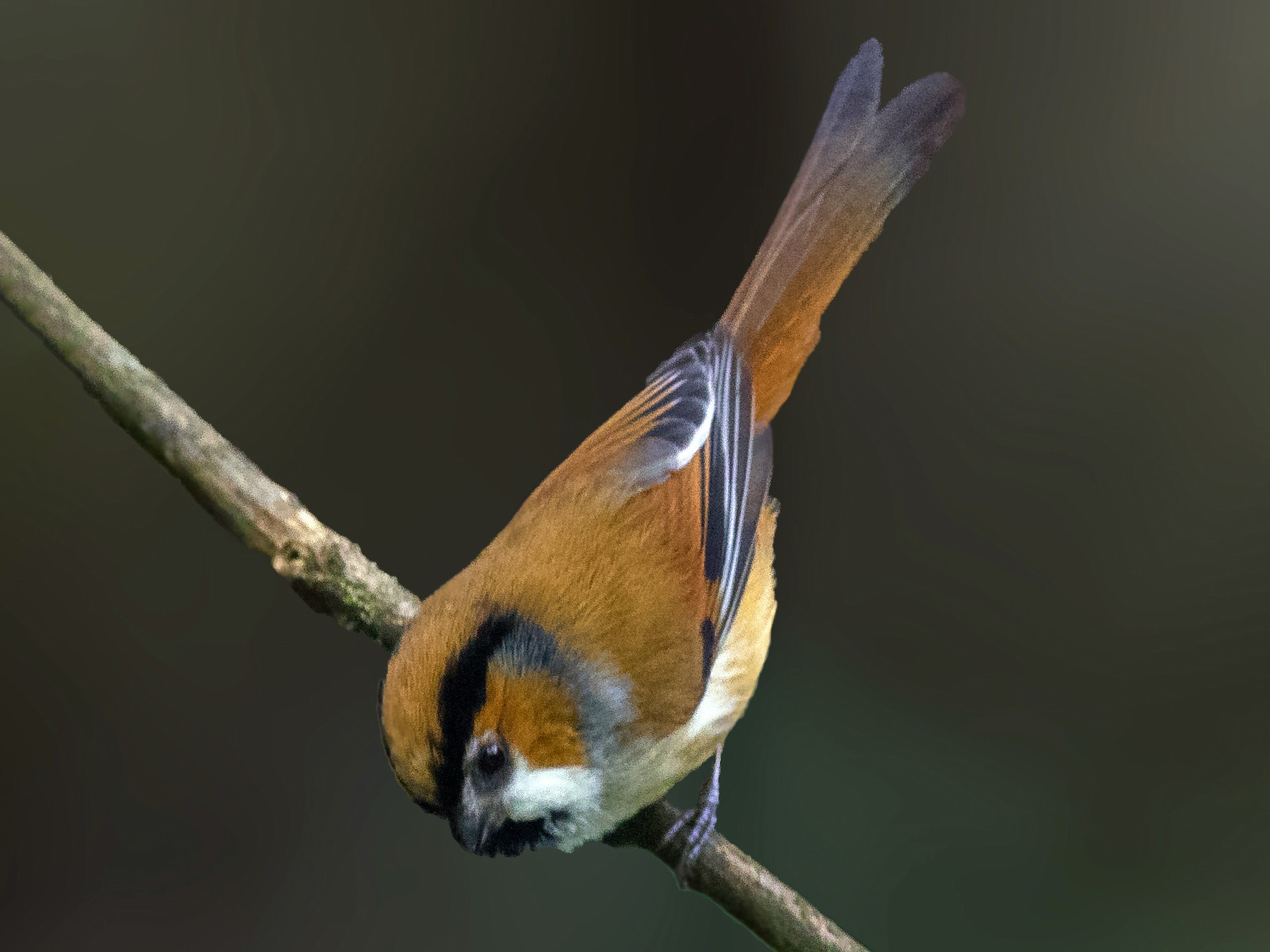 Black-throated Parrotbill - abhishek ravindra