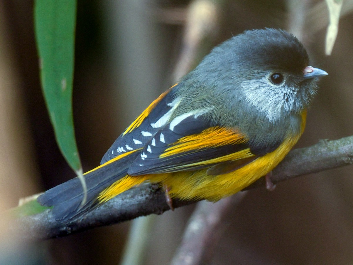 Golden-breasted Fulvetta - Saurabh Sawant