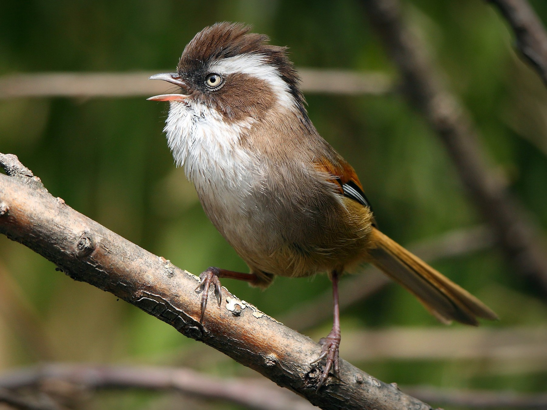 White-browed Fulvetta - Albin Jacob