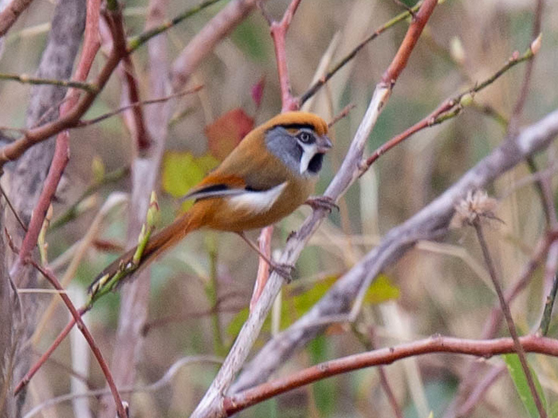 Black-throated Parrotbill - Robert Tizard