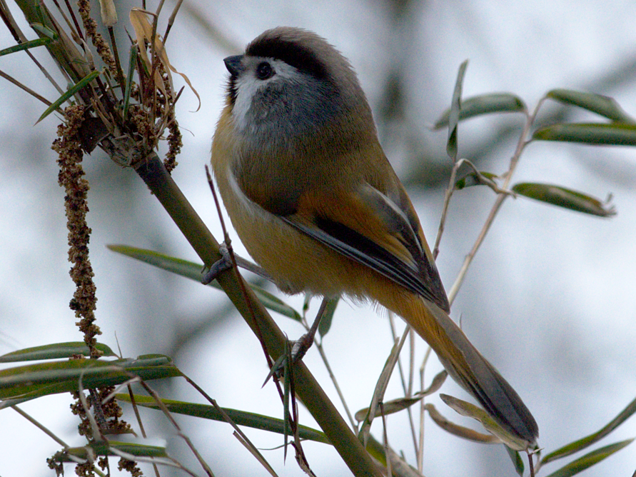 Black-throated Parrotbill - Ramnarayan K