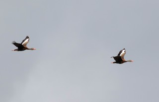 Black-bellied Whistling-Duck, ML170526871