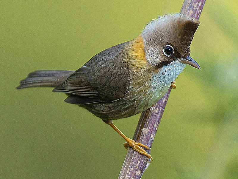 Whiskered Yuhina - Biju PB