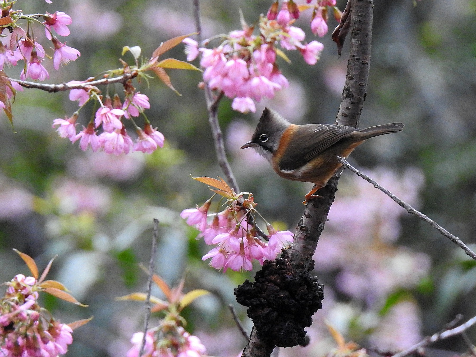 Whiskered Yuhina - Chi-Lien (綺蓮) Hsueh (薛)