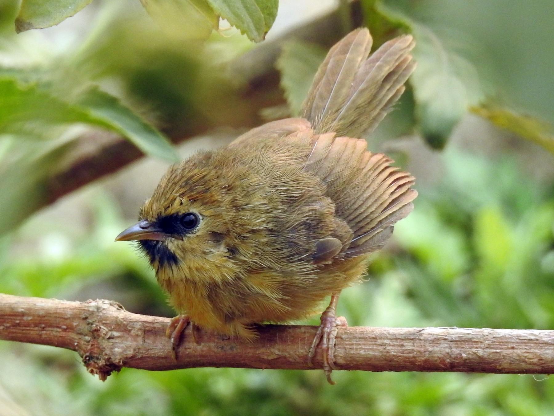 Black-chinned Babbler - Sitendu Goswami