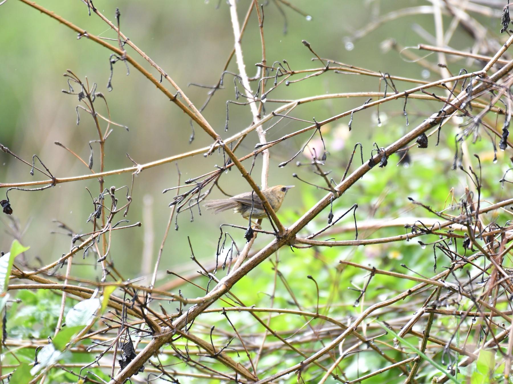Black-chinned Babbler - Ian Hearn