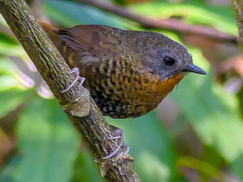 Rufous-throated Wren-Babbler - Mike Prince