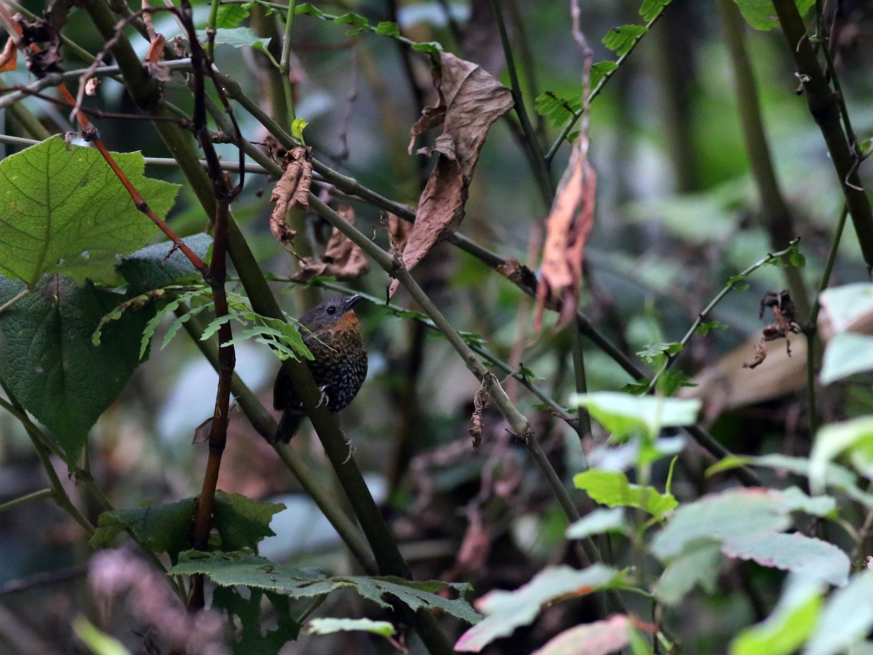 Rufous-throated Wren-Babbler - Peter Hosner