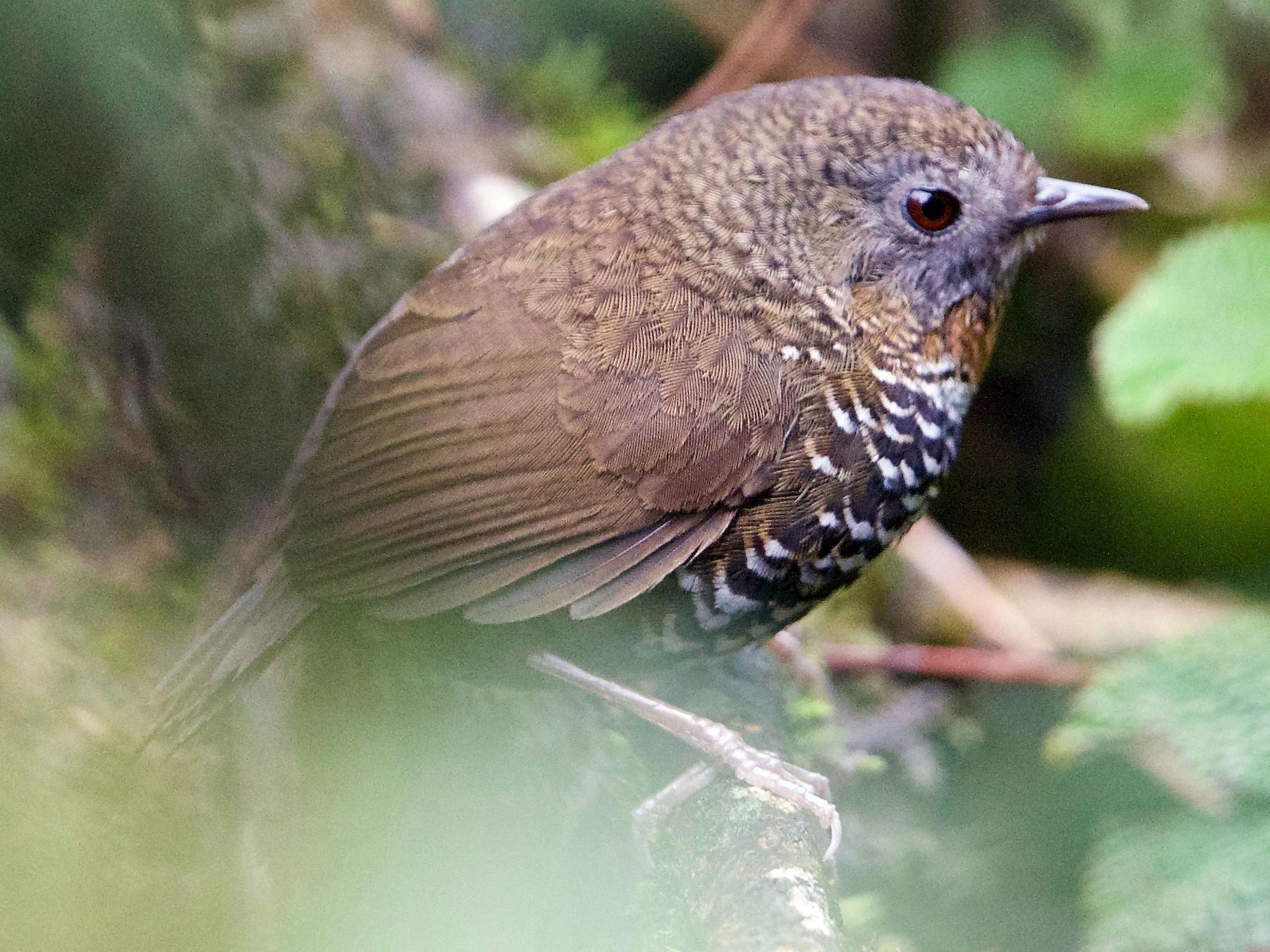 Rusty-throated Wren-Babbler - Snehasis Sinha