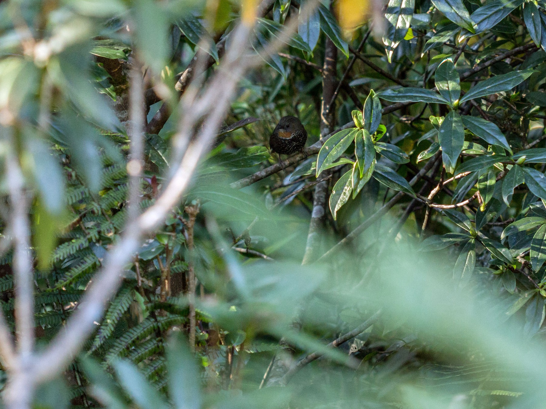 Rusty-throated Wren-Babbler - Ramit Singal