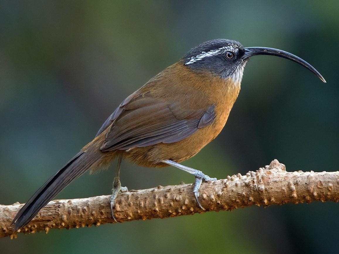 Slender-billed Scimitar-Babbler - Ayuwat Jearwattanakanok